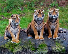 sisters (fridayschild68) Tags: washington tiger tacoma sumatrantiger tigercubs pointdefiancezoo