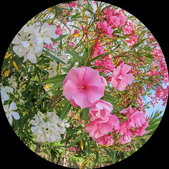 Laurier-rose (MannyPerry) Tags: canon 350d fisheye 8mm oleander