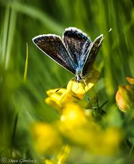 Common Blue Butterfly (female) (steve.gombocz) Tags: colour nature nikon colours wildlife hartlepool butterflyonflower commonbluebutterfly wildlifereserves wildlifephotos sealsands naturewatch flickrnature wildlifewatch wildlifephotographs nikond810 nikonwildlife nikoncamerausers nikondigitalcamerausers