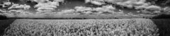 Rapeseed Field Panoramic 2 HDR B&W Artistic (chemical_si) Tags: summer field canon british rapeseed 2016 650d