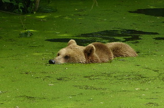 Biotopwildpark Anholter Schweiz - Eurasian Brown Bear taking a bath in duck weed