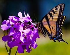 Habit Forming (stevenbulman44) Tags: black color macro yellow canon butterfly violet monarch 100f28