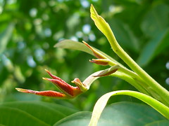 Walnu-Triebspitze (Jrg Paul Kaspari) Tags: summer leaf sommer blatt regia mosel trieb juglans juglansregia rzig walnus triebspitze walnustriebspitze