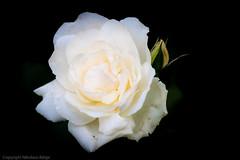 white rose (Nitroklaus) Tags: flower rose dof bokeh tokinaatx90mmf25macro