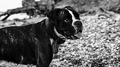 Boxer at the Beach (kornflakezzz) Tags: animal animals tiere dog hund boxer strand beach steilufer meer ocean baltic sea ostsee sw bw schwarz weis black white sigma sony alpha a57