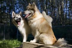 Malamutes (wilderness_wanderer) Tags: dog malamute alaskanmalamute