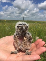 11 Day Old Burrowing Owl (cass_g2) Tags: canada wildlife manitoba owl endangered burrowingowl burrowing
