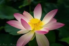 Lotusblte (Dixde - Photography) Tags: lotus lotusblte flora flower blte wilhelma stuttgart color colors badenwrttenberg germany deutschland sony sonyalpha7ii ilce7m2 zeiss zoo sigma sigma35mmf14art commlite