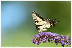 Eastern Tiger Swallowtail  (Rodolfo Quinio) Tags: nature wildlife easterntigerswallowtail howardcounty clarksvillemd nikond700