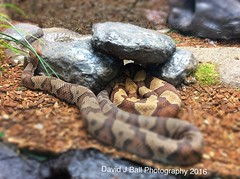 (davids_studio) Tags: snake copperhead