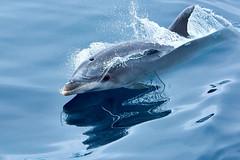 Bottlenose dolphin (tursiops truncatus) (pierre_et_nelly) Tags: tursiopstruncatus tursiops bottlenosedolphin roaz tursiopecomune grosetmmler granddauphin dolphin golfinho delfin delfino dauphin cetacean mammal pico picoisland azores aores portugal