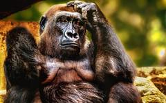 Gorilla Portrait (Delbrckerin) Tags: gorilla affe tier animal outdoor nikond90 sigma150600mm portrait