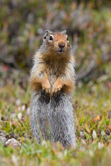 Columbian Ground Squirrel - Parker Ridge - Banff National Park (phhesse) Tags: olympus em1 omd leica varioelmar panasonic 100400m ziesel erdhrnchen colmbian ground squirrel parker ridge banff alberta canada kanada rocky mountains icefield parkway 2016 hiking nature green animal planet depthoffield