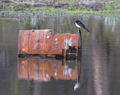 Rusty Willy 2016-08-12 (60D_2746) (ajhaysom) Tags: willywagtail rhipiduraleucophrys providencedam woodlandshistoricpark greenvale melbourne australia canoneos60d sigma150600 australianbirds