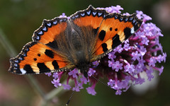 'Summer's Beauty' (SONICA Photography) Tags: eztd eztdphotography eztdphotos 2016 photos fotos nikond90 august2016 england foto photograph photography eztdgroup eztdfotos image allabouttheimage butterfly papillon aglaisurticae tortoiseshell smalltortoiseshell rhs rhshydehall essex hydehall summer verano ete sommer sonica imagessonica