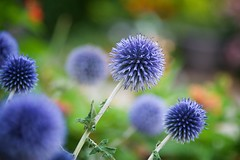 Blue Balls (The Good Brat) Tags: co us echinops ritro perennial flowerbed blue globe sphere thistle balls flower bloom