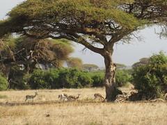 acacia sabana (vicentecamarasa) Tags: acacia sabana