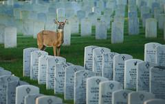 Quiet Morning (psmithusa) Tags: quiet morning deer doe grave gravesite jeffersonbarracks national cemetery wildlife nature green
