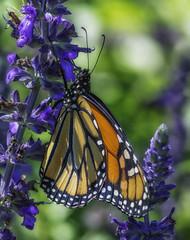 Monarch_SAF1732-1 (sara97) Tags: danausplexippus butterfly copyright2016saraannefinke flyinginsect insect missouri monarch monarchbutterfly nature outdoors photobysaraannefinke pollinator saintlouis towergrovepark