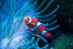 Clown Fish (Tony Shertila) Tags: 20160902135006 england gbr unitedkingdom uptonbychester wervin chesterzoo geo:lat=5322679610 geo:lon=288210869 geotagged europe britain cheshire animals fish water indoor nemo clownfish anenomi scales stripes aquarium