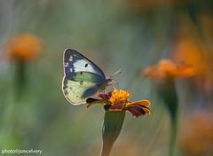 JSM_9217cloudedsulphur1jsm (JayEssEmm) Tags: clouded sulphur butterfly butterflies flower flowers boylston ma massachusetts towerhillbotanicgarden backlit jsmcelvery mcelvery