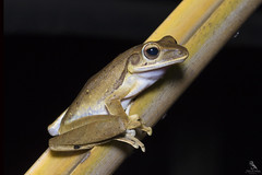 "Tree frog found in Brunei ""ID Unknown"" (Abhishek T) Tags: tree frog nature macro amphibians animals frogs"
