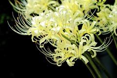 White Hurricane Lily :  (Dakiny) Tags: 2016 autmn september japan kanagawa yokohama aoba ichigao city street outdoor nature field plant flower blossom amaryllis hurricanelily redspiderlily white macro bokeh nnikon d7000 sigma apo 70200mm f28 ex hsm apo70200mmf28exhsm sigmaapo70200mmf28exhsm nikonclubit