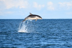 Dolphin leap part 2 (karen leah) Tags: dolphin bottlenose