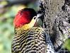 DSC_0099-001 (RachidH) Tags: birds oiseaux woodpecker pic greenbarredwoodpecker colaptesmelanochloros picvertetnoir carpinterorealnorteño bosquesdepalermo palermo woods buenosaires argentina rachidh nature