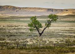 Lone Tree on the Montana Prairie.jpg (Eye of G Photography) Tags: grassland usa lonetree northamerica skyclouds montana hills places prairie