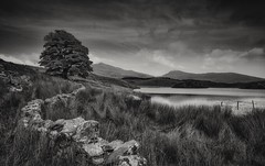 One Tree Wall (Captain Nikon) Tags: llyndywarchen lake reservior snowdonianationalpark snowdonia northwales monochrome blackandwhite lonetree stonewall twisting moody mountains grasses post nikond7000 sigma1020mmf4 srbgraduated06softgradfilter