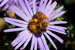 Honey Bee and Pollen Basket (Jim Atkins Sr) Tags: a58 sony macro honeybee aster asterfrikartii flower pollen pollenbasket lavender corbicula tryonpalace northcarolina nc newbern newbernnc sonya58 closeup