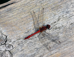 Summer Dragon! (RiverCrouchWalker) Tags: summer insect dragonfly august boardwalk essex darter 2014 rspb ruddydarter purfleet sympetrumsanguineum rainhammarshes