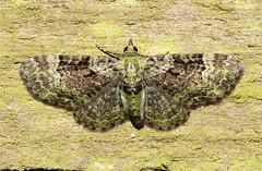 Pasiphila rectangulata (Green Pug Moth ) Hodges # 7625 (Nick Dean1) Tags: insect washington moth lepidoptera washingtonstate animalia arthropoda everett arthropod insecta washingtonusa 7625 pasiphilarectangulata greenpugmoth pugmoth southeverett hodges7625