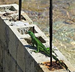 IMG_3250_fix (goatling) Tags: green rock island reptile lizard iguana tropical tropic caribbean cayman carib juvenile caymanislands tropics grandcayman caribe westbay westindies britishwestindies gcm201412 201412gcm