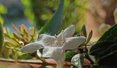 Abelia  grandiflora (bego vega) Tags: madrid plant flower macro planta flor vega vf bego abelia chinensis uniflora  abeliaxgrandiflora