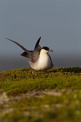 _D7B2332 (pronature images) Tags: bird paul skua varanger norway2013 day44 varangerhalvoyanationalpark