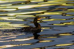 Psychedelic Cormorant [Explored] (Arizphotodude) Tags: arizona reflection nature water birds nikon glare birding gilbert cormorant naturephotography ater waterranch d7000 sigma150500