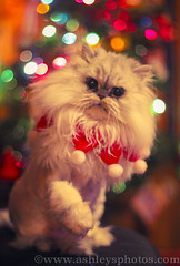 """Happy Christmas to all, and to all a good night!"" (A Great Capture) Tags: christmas xmas eve winter pet toronto ontario canada tree cat lights persian chat kitty chia merry merrychristmas himalayan chichi on perisan lhiver ald ash2276 ashleyduffus"