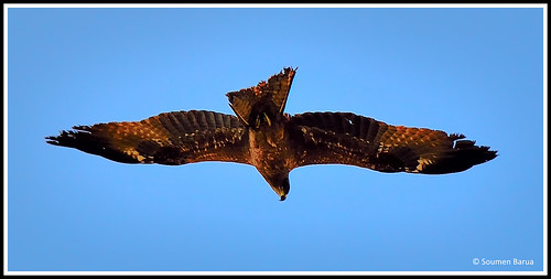 Common Buzzard-05