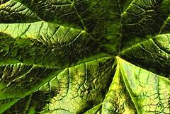 take it or leaf it, it's just a leaf (HansHolt) Tags: leaf blad indianrhubarb darmerapeltata umbrellaplant canonef100mmf28macrousm macromondays canoneos6d schildblad peltiphyllumpeltata crinkledwrinkledfoldedorcreased