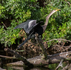 _C5A3867.jpg (Lake Worth) Tags: bird nature birds animal animals canon wings wildlife feathers sigma waterbird wetlands everglades waterbirds southflorida 2xextender