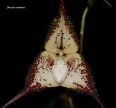 Dracula cordobae (Cattleyamasdevallia) Tags: orchid dracula orchide cattleyamasdevallia