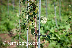 Young apple tree tied to rod for support at an apple orchard in Aspers, Pennsylvania, USA (Remsberg Photos) Tags: usa tree apple fruit support pennsylvania labor nursery farming young harvest tie orchard ag rod farms agriculture aspers