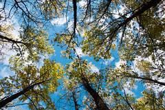 Castaar de El Tiemblo - Mirando al cielo (damargo1983) Tags: light naturaleza planta luz nature azul clouds rboles colores bosque cielo nubes otoo contrapicado nwn ramas castaar eltiemblo