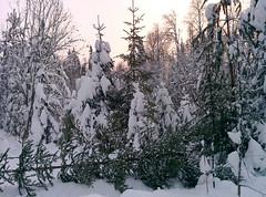 """Заготовка новогодней ели в Соколовке • <a style=""""font-size:0.8em;"""" href=""""http://www.flickr.com/photos/107434268@N03/15931516370/"""" target=""""_blank"""">View on Flickr</a>"""