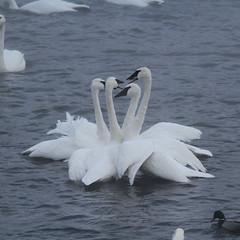 Trumpeter Swan (painguy007) Tags: bird minnesota swan mississippiriver monticello trumpeterswan swanpark