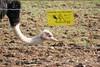 Ostrisch at Dartmoor Zoological Park. Taken on 05-03-2011 - 13_55_11.jpg (atthezoouk) Tags: camera england birds devon zoos sparkwell animalphotos canoneos350ddigital dartmoorzoo biaza ostrisch