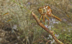 Crocothemis erythraea f (hembra) (bego vega) Tags: odonata anisoptera libelula insect insecto alas wings macro madrid ontigola bego vega crocothemis erythraea female hembra
