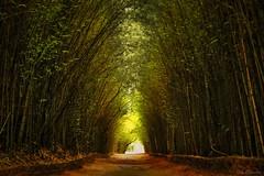 Melancolismo (NeyOliv) Tags: bamboo ney bambu bambuzal melancólico fz200 neyoliveira dmcfz200 panasonicfz200 lumixfz200 melancolismo